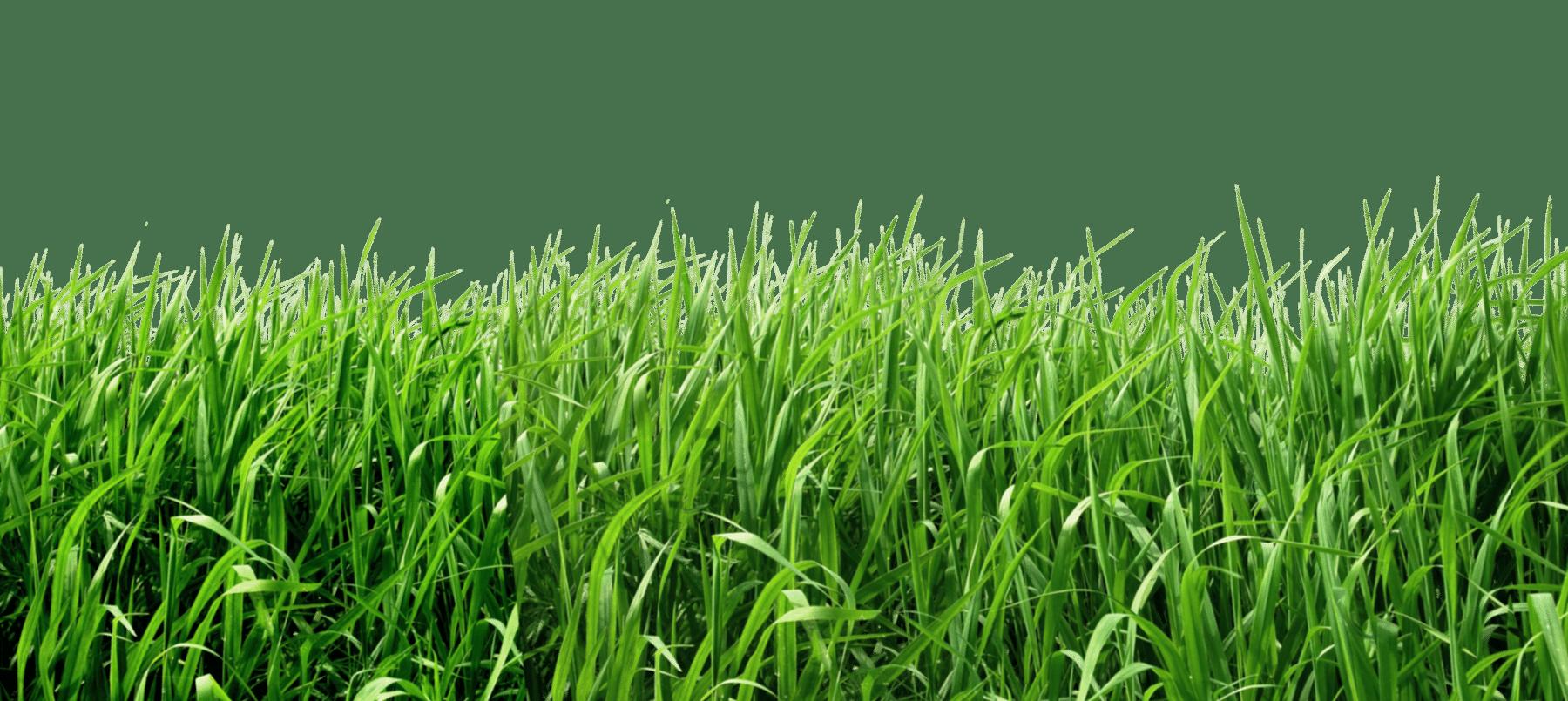 PNGPIX COM Grass PNG Transparent Image 2